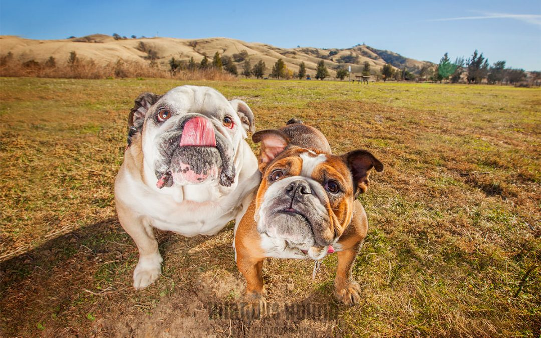 Two Bulldogs Take Over Lagoon Valley