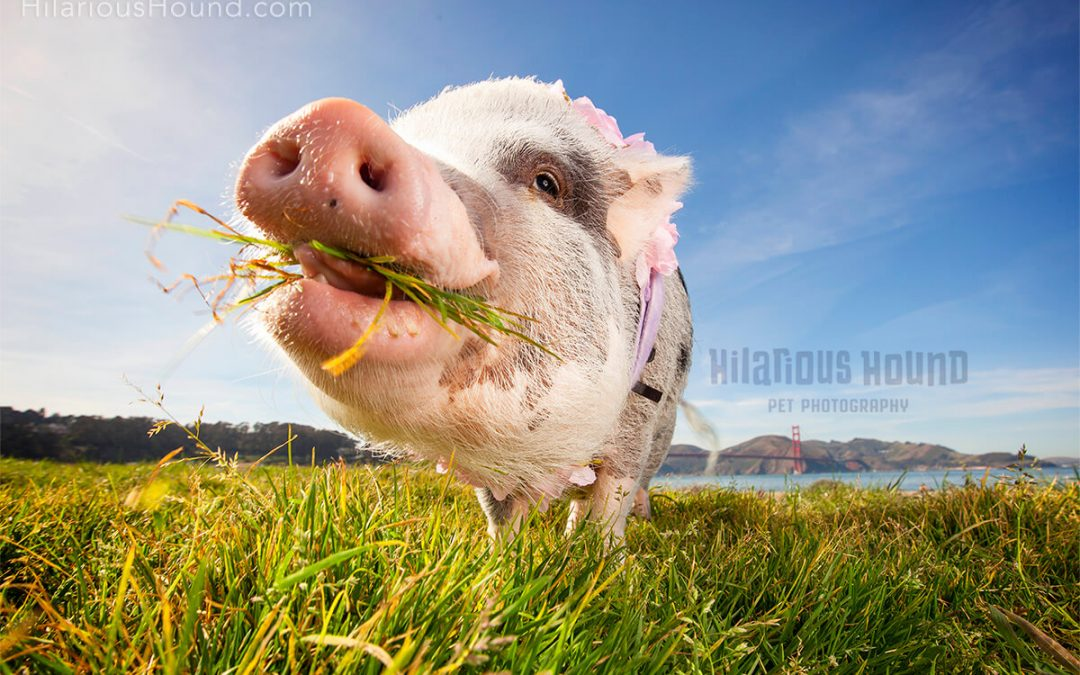 LiLou The Pig | San Francisco Pet Photography